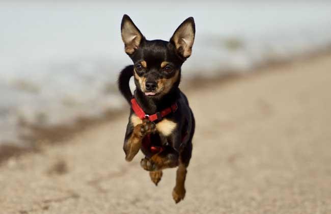 迷你杜宾犬价格多少钱?