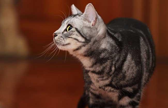 美国短毛猫多少钱图片