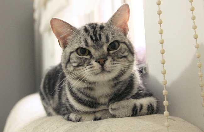美国短毛猫纯黑色价格图片
