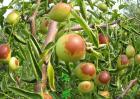 冬枣树栽培技术