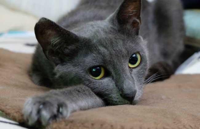 俄罗斯蓝猫怎么养?