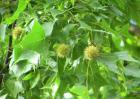 枫香树的栽培技术