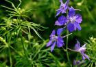 飞燕草的花语和传说