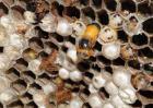 蜂房的功效与作用