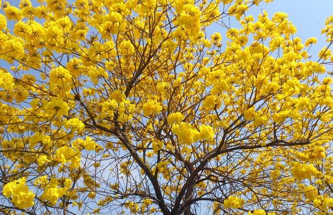 风铃木什么时候开花?