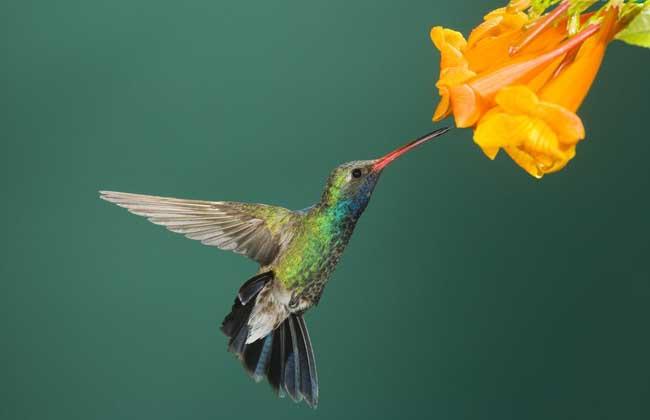 蜂鸟吃什么食物