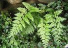 凤尾蕨和黑木蕨区别
