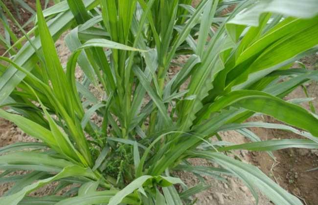 高丹草种植技术
