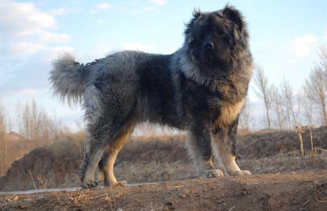 高加索犬多少钱一只?
