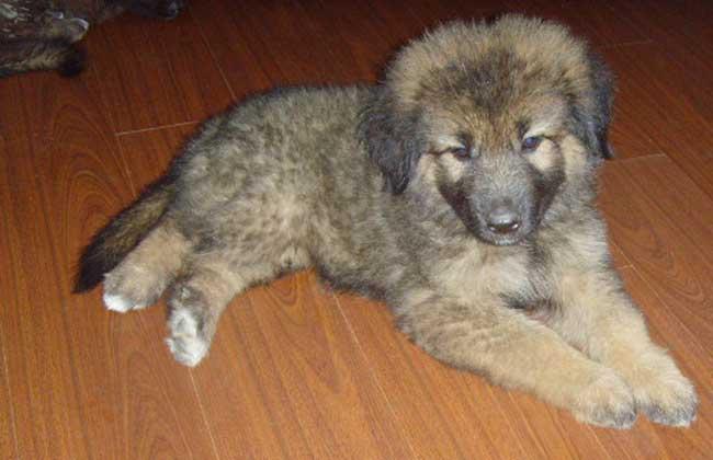 高加索犬图片