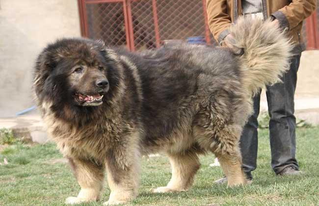 高加索犬怎么养?