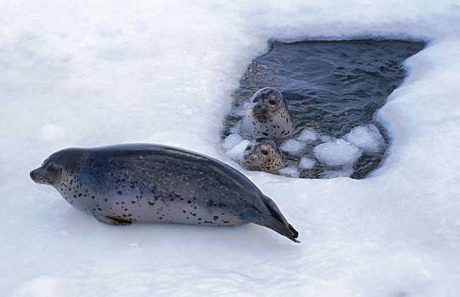 海豹种类图片大全