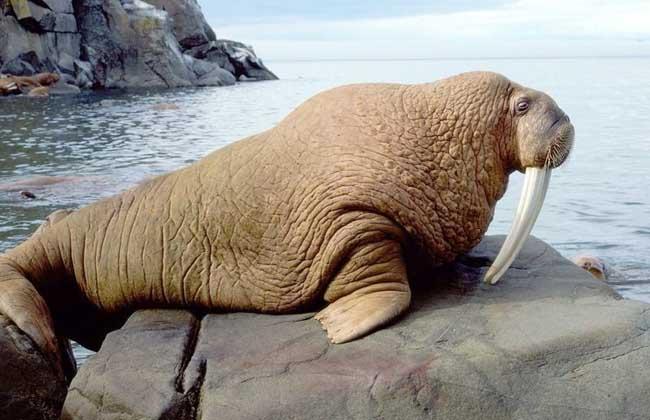 海象吃什么食物
