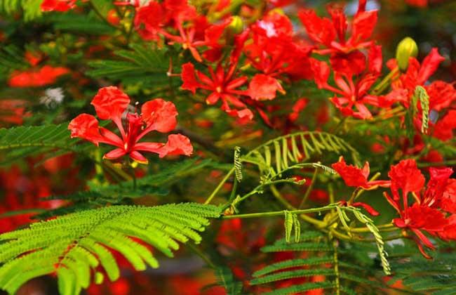 红花楹的栽培技术