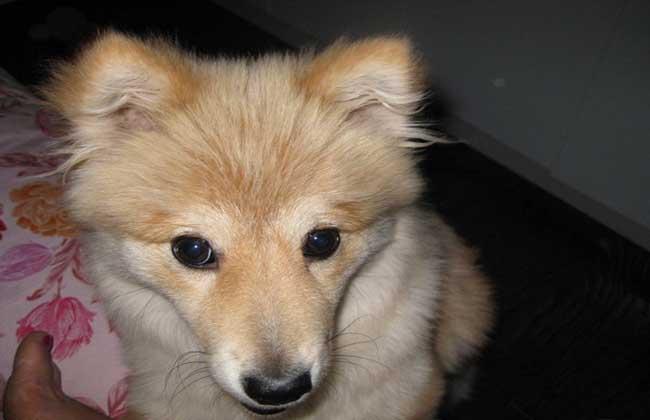 芬兰狐狸犬的智商_芬兰狐狸犬价格_芬兰狐狸犬