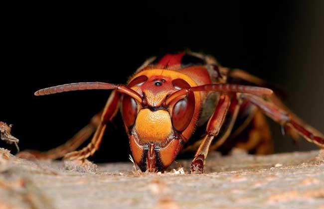 虎头蜂图片