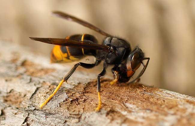 黄脚虎头蜂