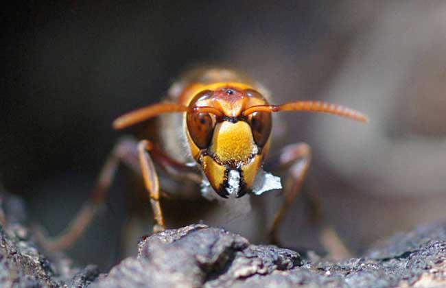 拟大虎头蜂