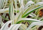 花叶芦竹的养殖方法