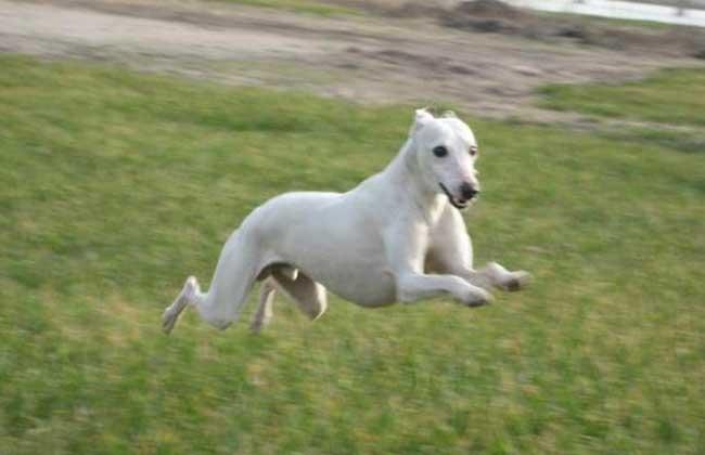 惠比特犬多少钱一只