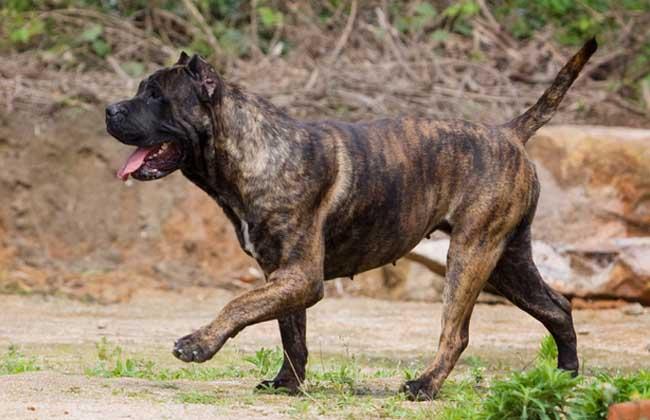 加纳利犬价格多少钱一只?