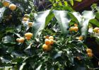 黄皮是什么水果?