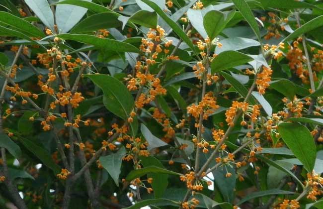 金桂树多少钱一棵