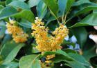 金桂树多少钱一棵?