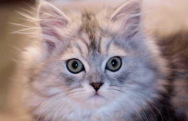 金吉拉猫多少钱一只?