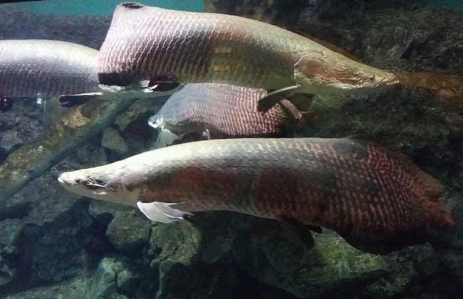 巨骨舌鱼的养殖技术