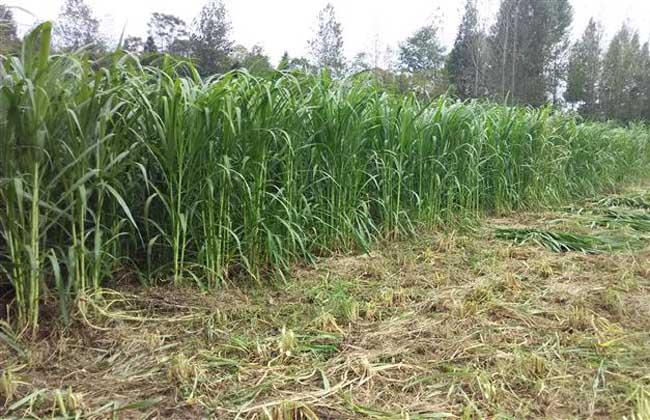 巨菌草种植技术