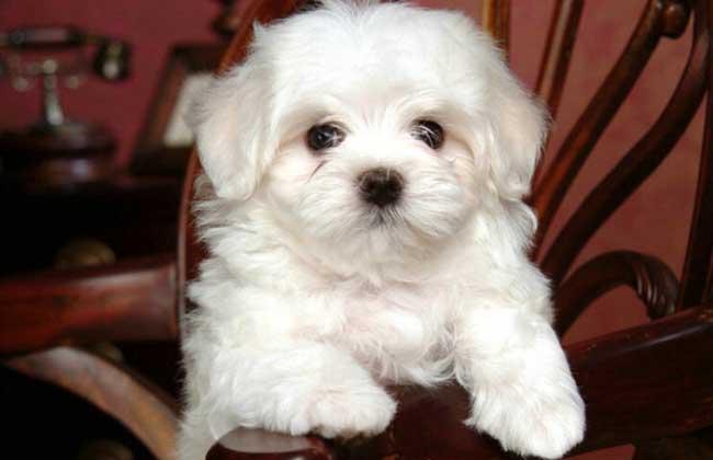 卷毛比雄犬多少钱一只?