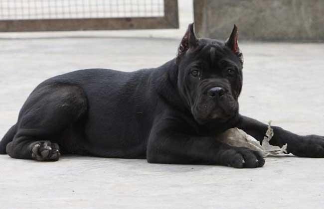 卡斯罗犬多少钱一只