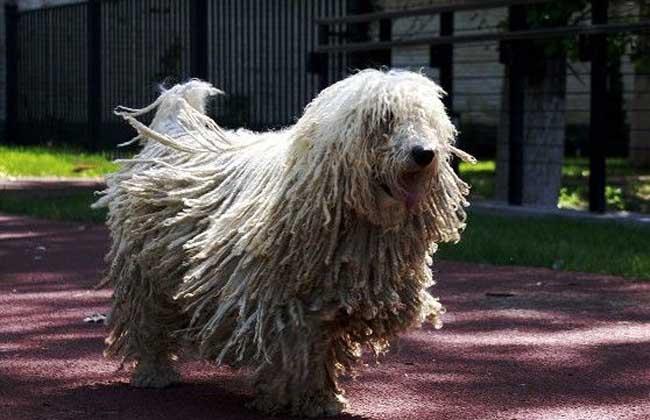 可蒙犬多少钱一只?