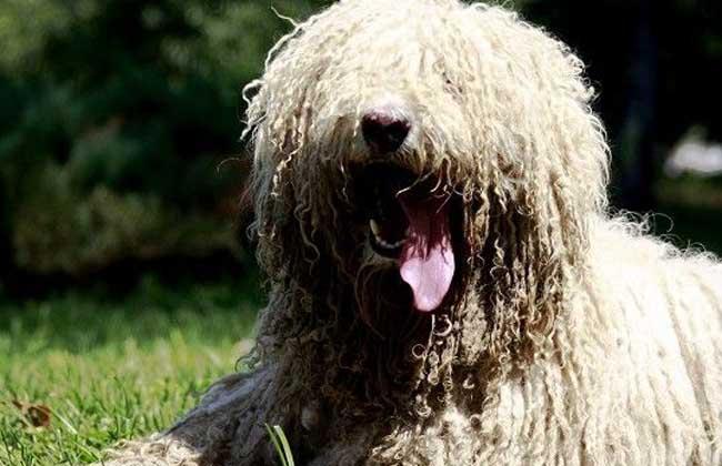 可蒙犬多少钱一只