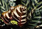 孔雀竹芋的养殖方法