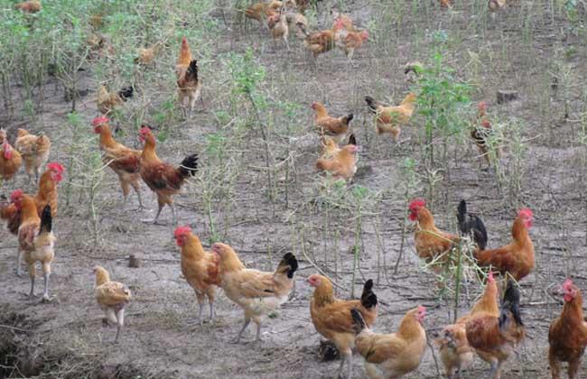 鸡链球菌病