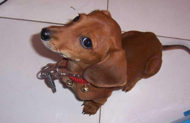 腊肠犬多少钱一只?