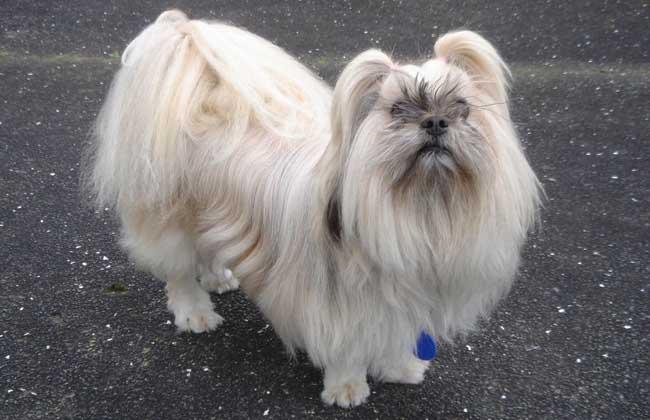 拉萨犬多少钱一只?