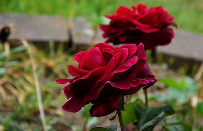 路易十四玫瑰
