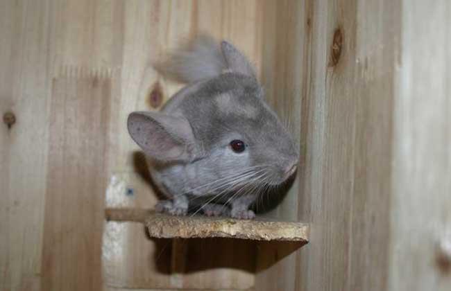 灰蓝色龙猫
