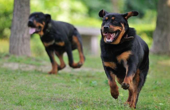 罗威纳犬价格多少钱