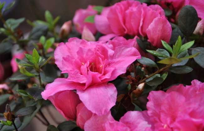盆栽杜鹃花怎么养?