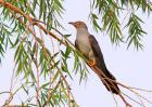 杜鹃鸟吃什么食物?