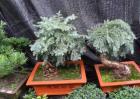盆栽澳洲杉怎么养?