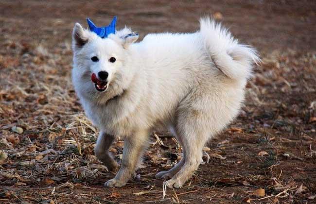 日本狐狸犬多少钱一只