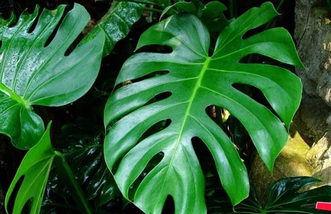 盆栽龟背竹怎么养?