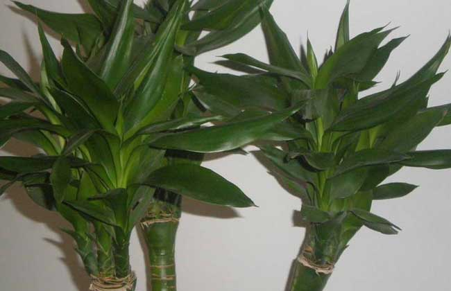 观音竹的养殖方法