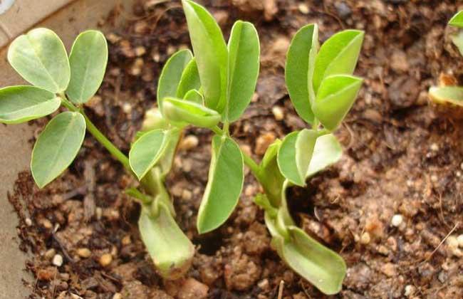 盆栽花生怎么种才好?