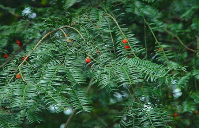 南方红豆杉多少钱一棵